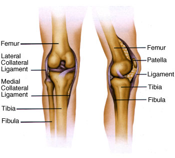 Knee Anatomy Graphic